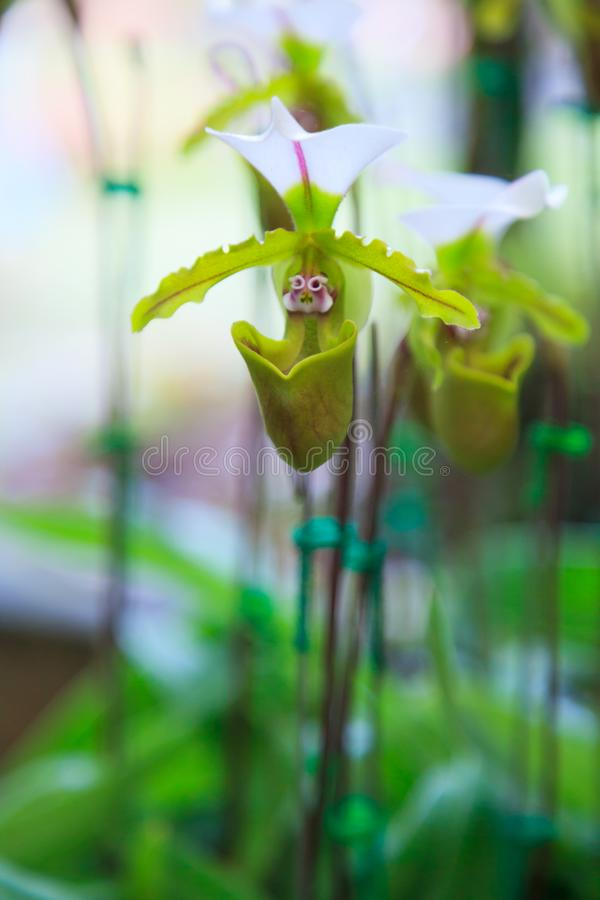 Flowers: Lady`s slipper, lady slipper or slipper orchid Paphiopedilum, Vejvarut Paphiopedilum. The slipper-shaped lip of the flow royalty free stock image