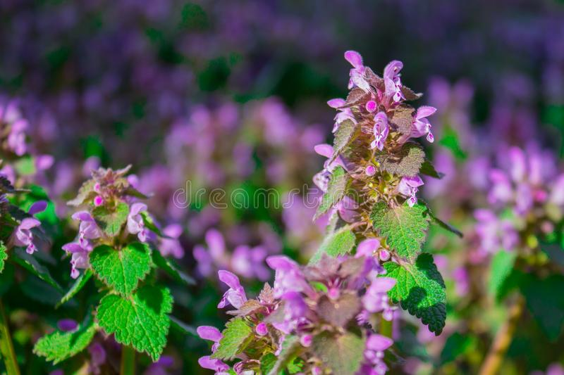 Flowers Lamium maculatum also known as spotted dead-nettle, spotted henbit and purple dragon. stock photography