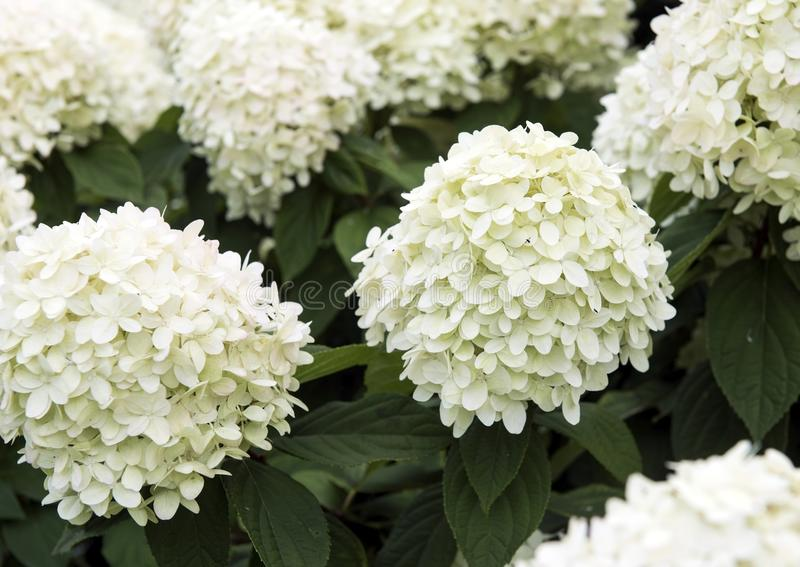 Flowers. large buds of white color. Consisting of many small white petals royalty free stock photo