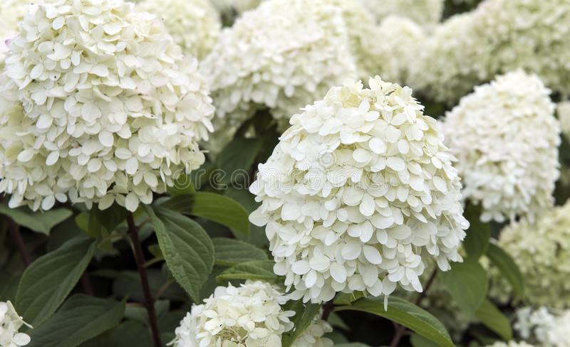 Flowers. large buds of white color. Consisting of many small white petals royalty free stock photos