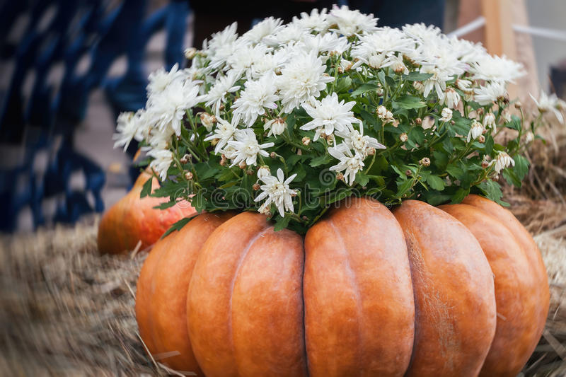 Flowers in large ribbed pumpkin. Thanksgiving Day and Halloween festive decoration and concept. Autumn, fall background. Flowers in large ribbed pumpkin royalty free stock images