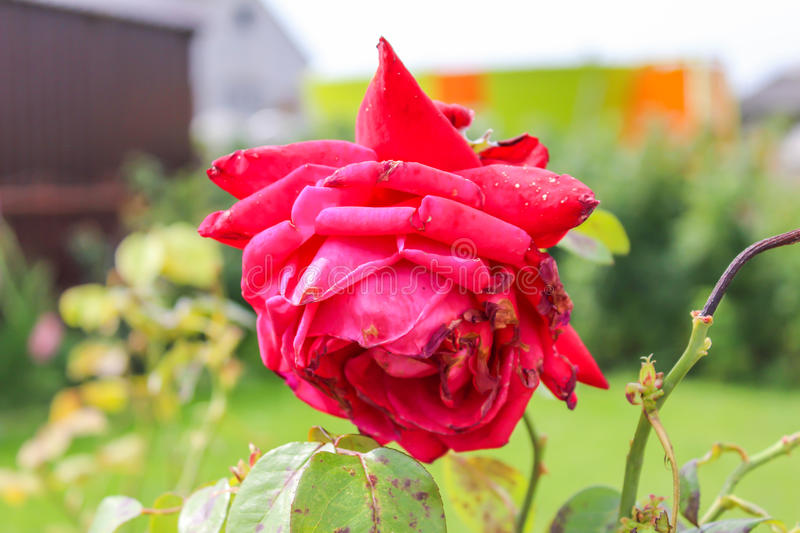 Flowers in late summer. The old rose garden in the village stock photos