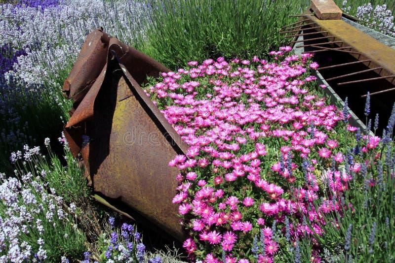 Flowers at a Lavendar farm in Sequim Washinton stock photo