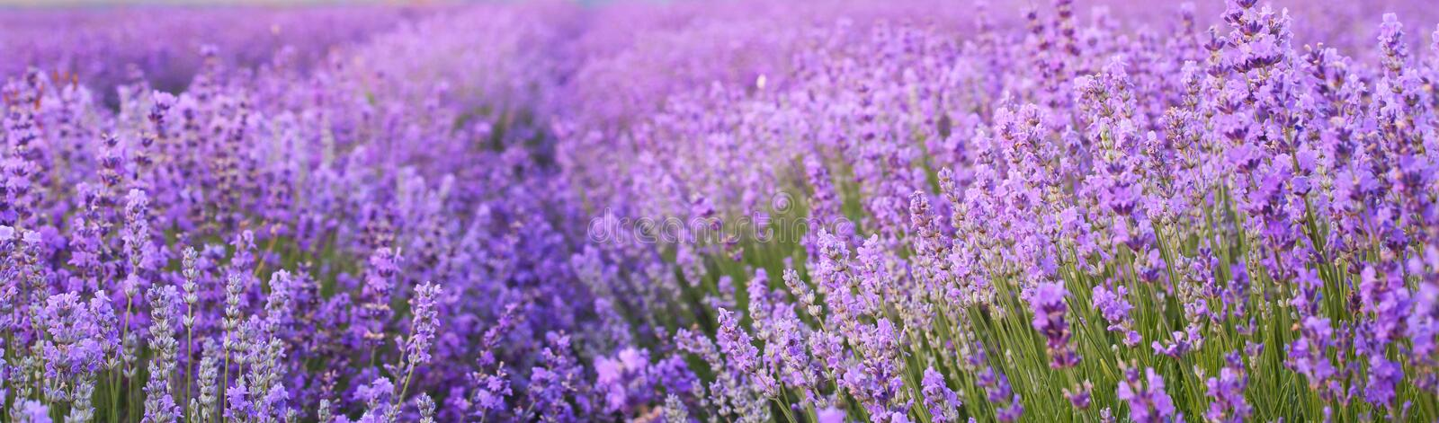 Flowers in the lavender fields. Flowers in the lavender fields in the Crimean mountains stock photography