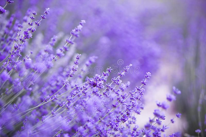 Flowers in the lavender fields in the Provence mountains. Evening light over purple flowers of lavender. Violet bushes. At the center of picture. Lavender stock photo