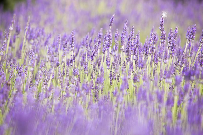 Flowers in the lavender fields in the Provence mountains. Evening light over purple flowers of lavender. Violet bushes. At the center of picture. Provence stock photography