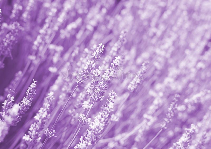 Flowers in the lavender fields in the Provence. Romantic flower background stock photography