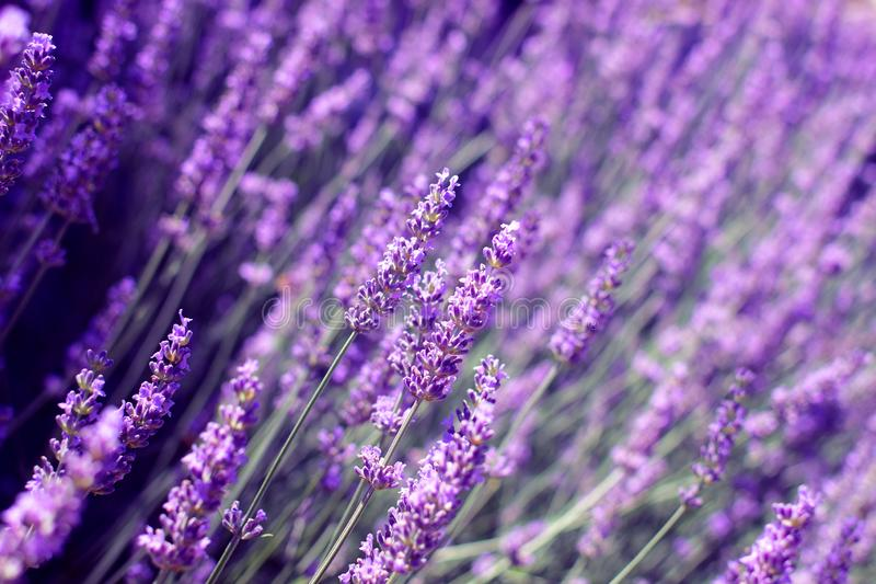 Flowers in the lavender fields in the Provence. Romantic flower background stock image