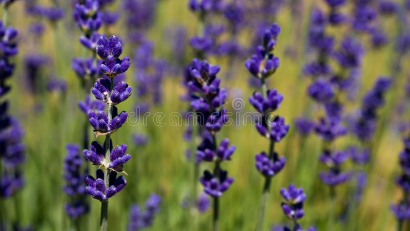 Flowers in the lavender fields in summer day. Background royalty free stock image
