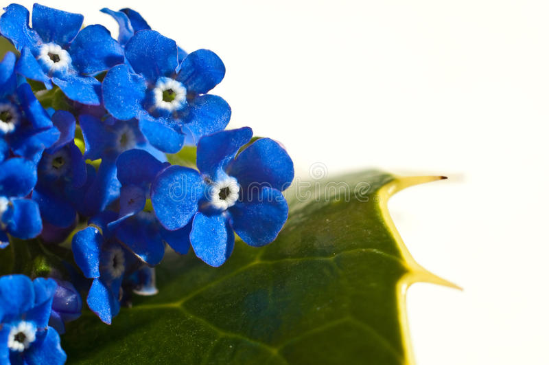 Flowers on a leaf card. Blue flowers on a green leaf isolated on white stock image