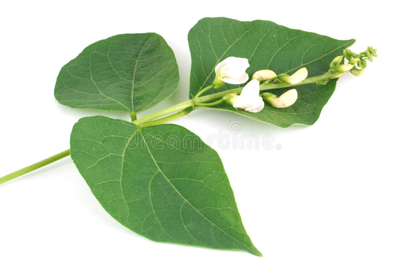 Flowers and leaves of beans royalty free stock photos