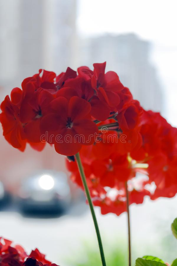 Flowers and leaves of geranium stock photo