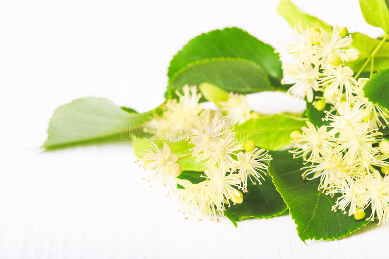 Flowers and leaves of linden closeup. On a white background stock photography