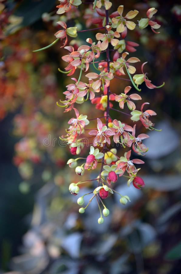 Flowers of the Leichhardt Bean Tree, Cassia brewsteri. Pendulous flowers of the Leichhardt Bean Tree, Cassia brewsteri, family Fabaceae. Endemic to open forest royalty free stock image