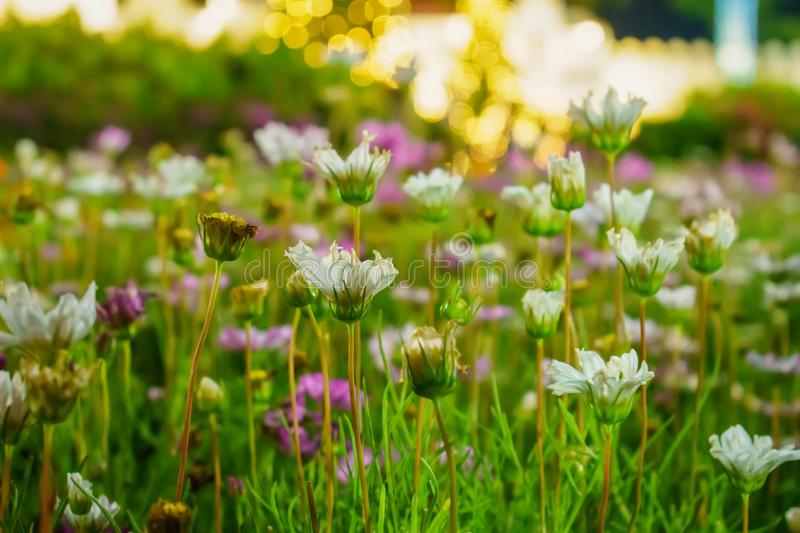 Flowers with lights at night. Flowers in the meadow are blooming stock photos