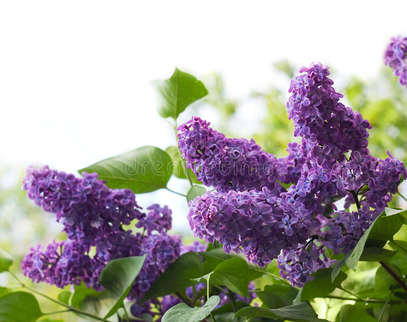 Flowers of lilac. Isolated on white background stock photos