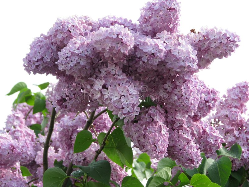 flowers of lilac stock photo