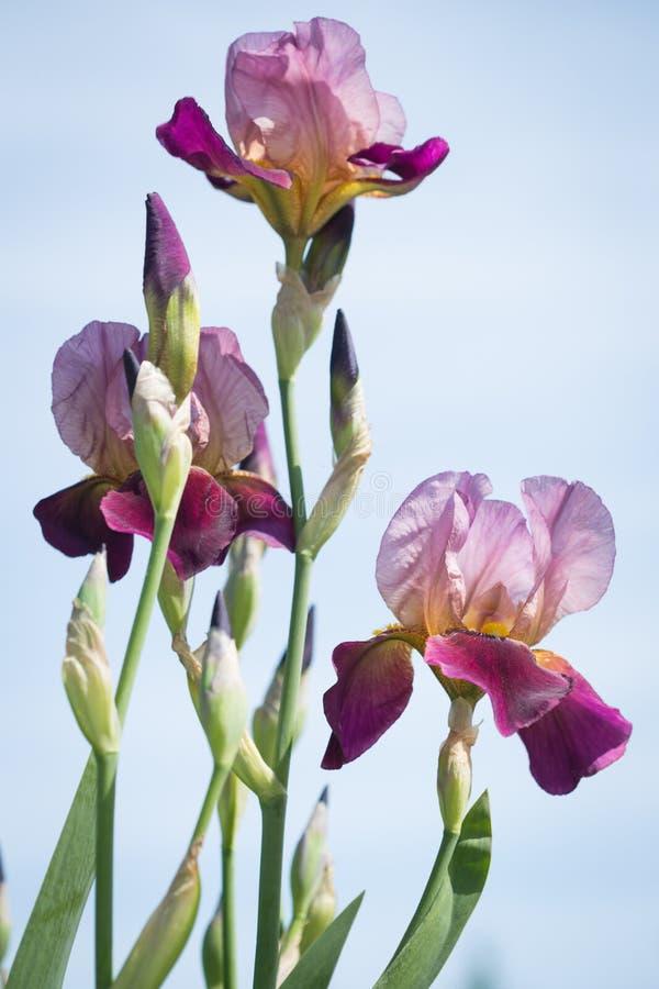 Flowers of lilac iris. Beautiful flowers of lilac iris royalty free stock photo