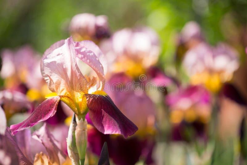 Flowers of lilac iris. Beautiful flowers of lilac iris stock photography