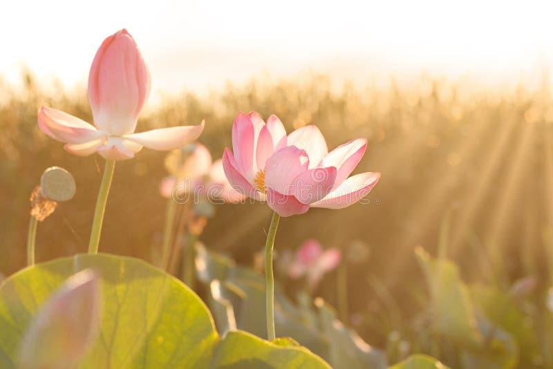 Flowers of lotus blossom in Volga delta. Astrakhan region, Caspian sea, Russia. Towards the sun. Flowers of lotus ((Nelumbo nucifera) blossom in royalty free stock photos