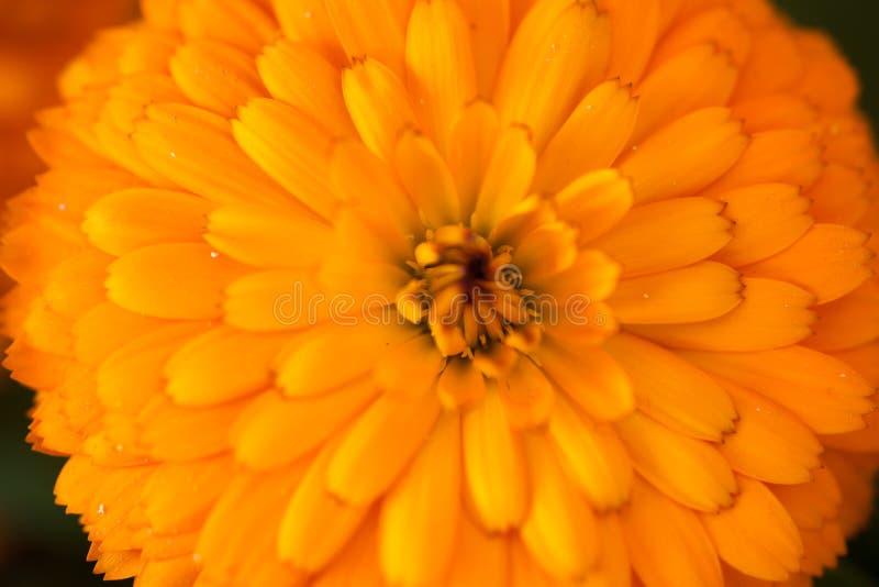 Flowers macro in spring. Orange colored flower floral bouquet flowers garden dew drops beauty petals stamen botany botanical plant love romance emotion emotional royalty free stock photos