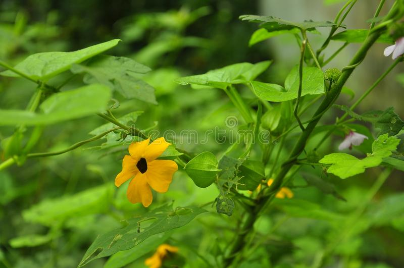 Flowers mallika. Some beautiful flowers in kerala royalty free stock photo