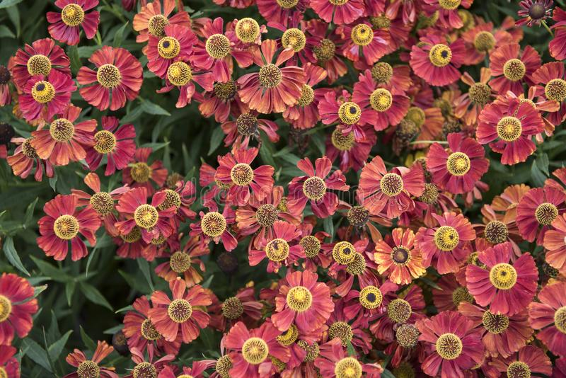 Flowers. Many flowers with bright red petals and yellow pistils. In the center of the flower. Wildflowers in large numbers stock photo
