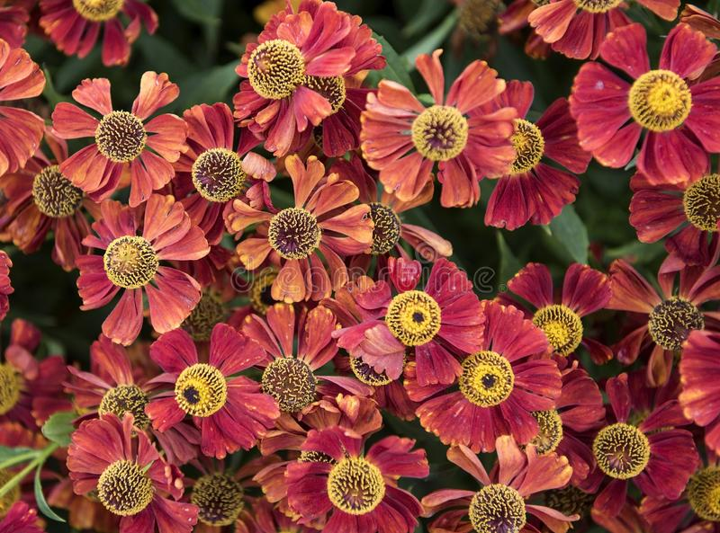 Flowers. Many flowers with bright red petals and yellow pistils. In the center of the flower. Wildflowers in large numbers stock photos