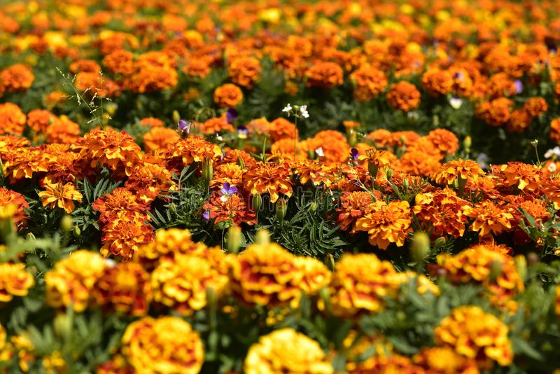 Flowers Marigold stock photos