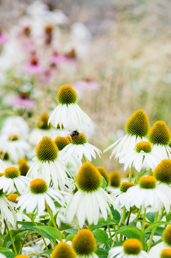 Download Flowers Medicinal Herb Echinacea Purpurea Or Coneflower Stock Photo - Image of up, floral: 34111850