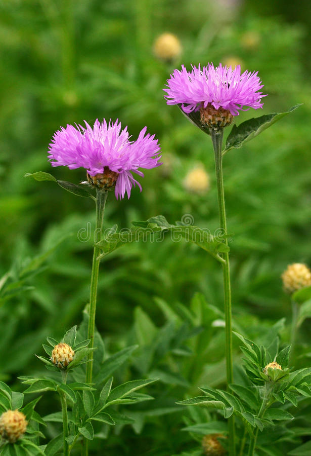 Flowers Milk thistle Cirsium. Medical plant stock images