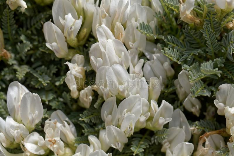 Flowers of the milkvetch Astragalus angustifolius. A small bush form Southeastern Europe stock photo
