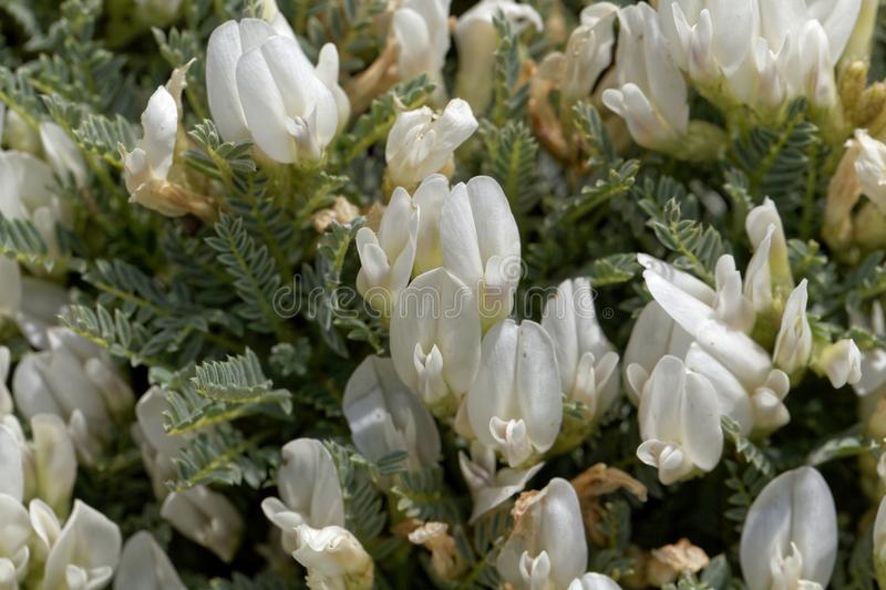 Flowers of the milkvetch Astragalus angustifolius. A small bush form Southeastern Europe royalty free stock images