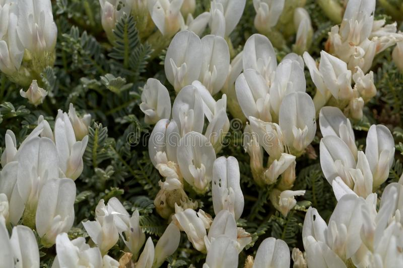 Flowers of the milkvetch Astragalus angustifolius. A small bush form Southeastern Europe royalty free stock photography