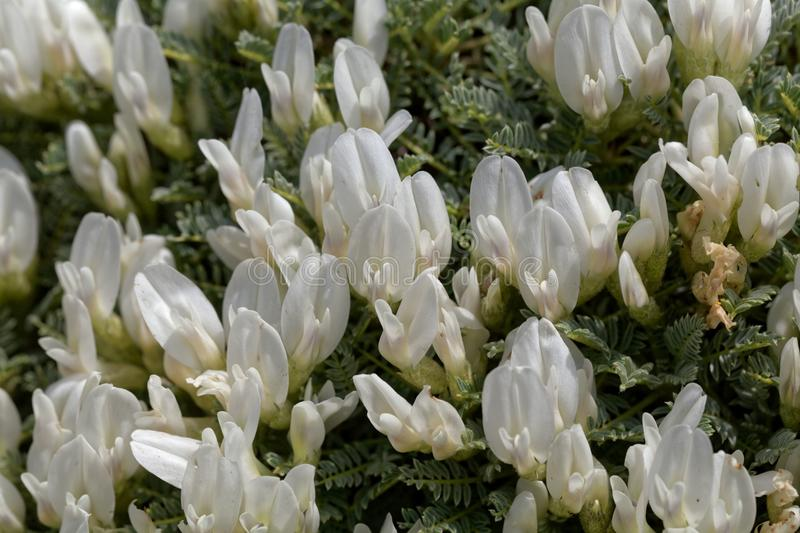 Flowers of the milkvetch Astragalus angustifolius. A small bush form Southeastern Europe stock photos