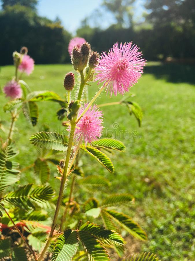 Mimosa Pudica. Flowers of Mimosa Pudica plant in the garden stock photo