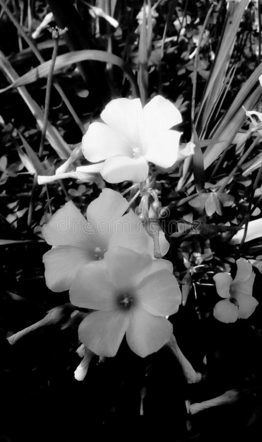 Flowers in monochrome in closeup royalty free stock images
