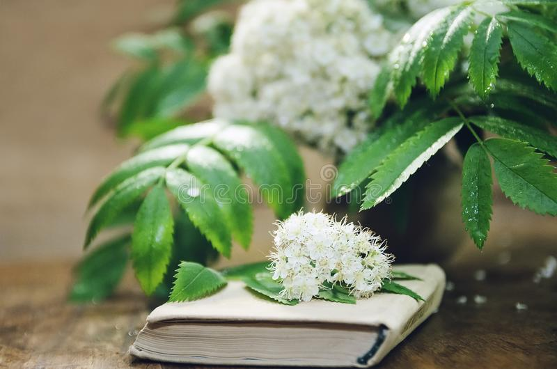 Flowers of mountain ash and a book on a wooden background. Close-up, selective focus. Flowers of mountain ash and a book on a wooden background. Closeup royalty free stock photo