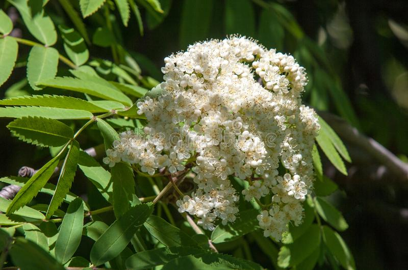 Flowers of mountain ash. Flowers of mountain ash macro. Flowers. Of mountain ash on a tree growing in a spring forest. blossoming of a mountain ash royalty free stock images