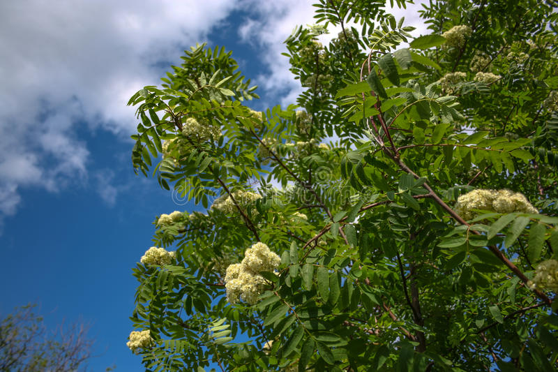 Flowers of mountain ash. Flowers of mountain ash macro. Flowers of mountain ash on a tree growing in a spring forest. blossoming of a mountain ash stock image
