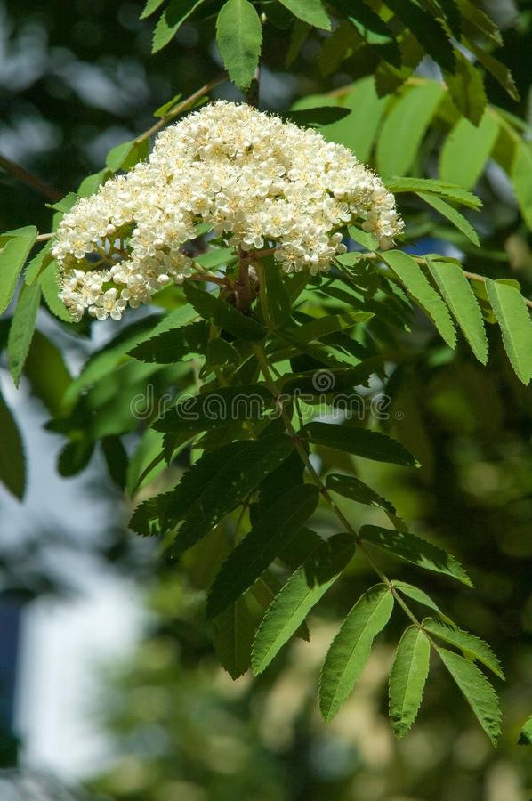 Flowers of mountain ash. Flowers of mountain ash macro. Flowers. Of mountain ash on a tree growing in a spring forest. blossoming of a mountain ash stock images