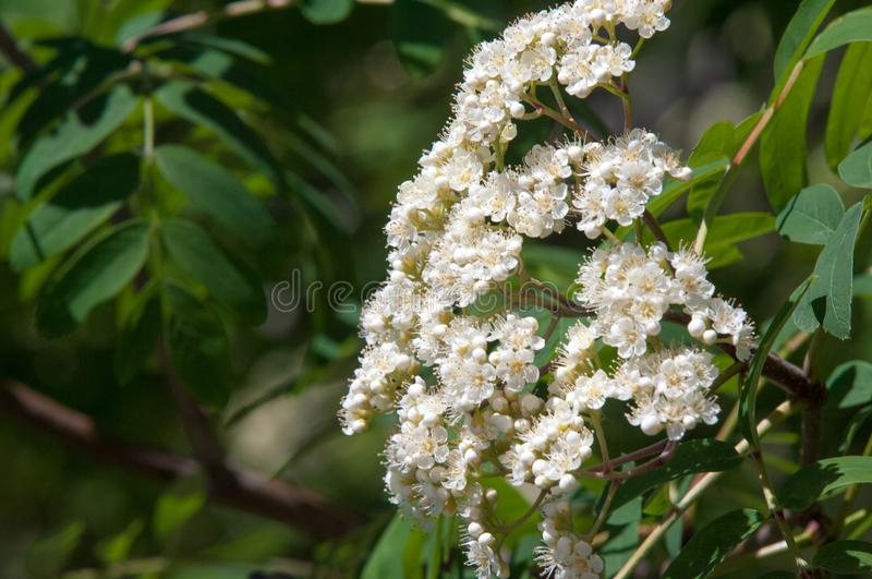 Flowers of mountain ash. Flowers of mountain ash macro. Flowers. Of mountain ash on a tree growing in a spring forest. blossoming of a mountain ash stock photos