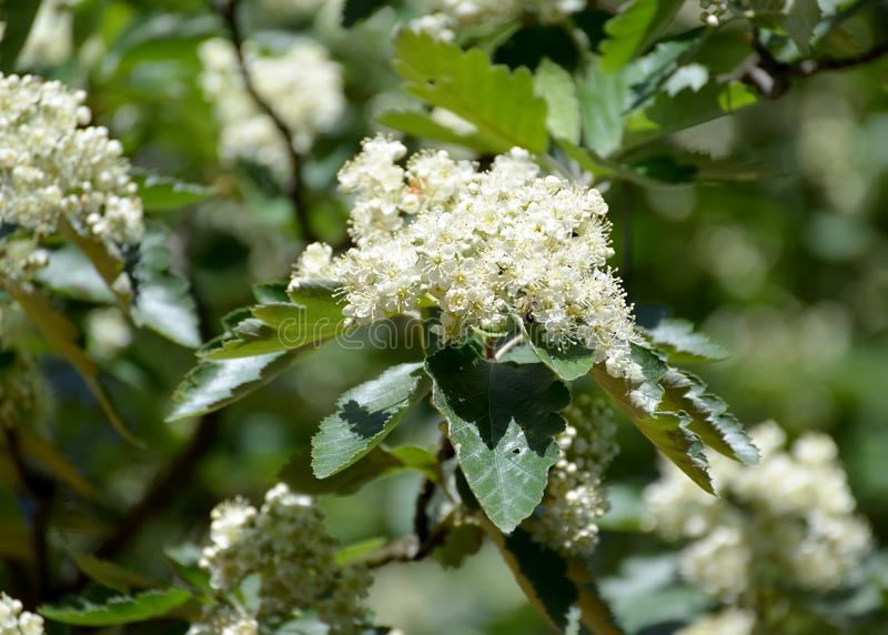 Flowers of a mountain ash Scandinavian Sorbus intermedia Ehrh. Pers.  stock photo
