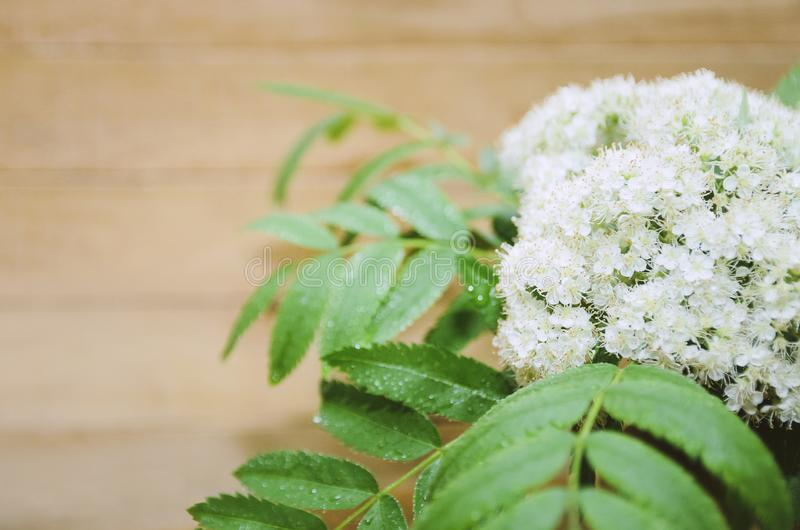 Flowers of mountain ash on a wooden background. Close-up, selective focus, copyspace for text. Flowers of mountain ash on a wooden background. Closeup, selective stock images