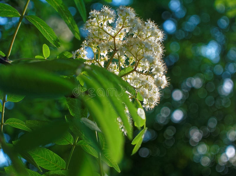 Flowers of mountain ash in the yard of Moscow. Southwest district royalty free stock photos
