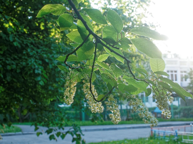 Flowers of mountain ash in the yard of Moscow. Southwest district stock images