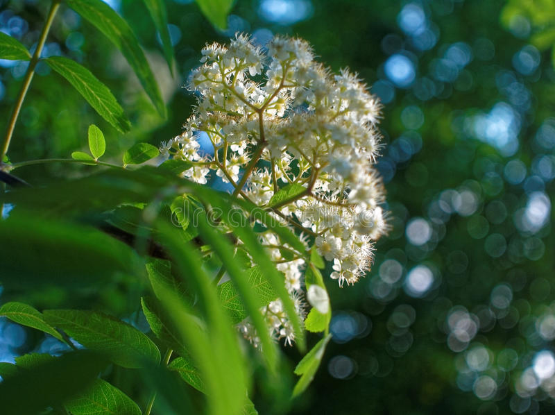 Flowers of mountain ash in the yard of Moscow. Southwest district royalty free stock photo