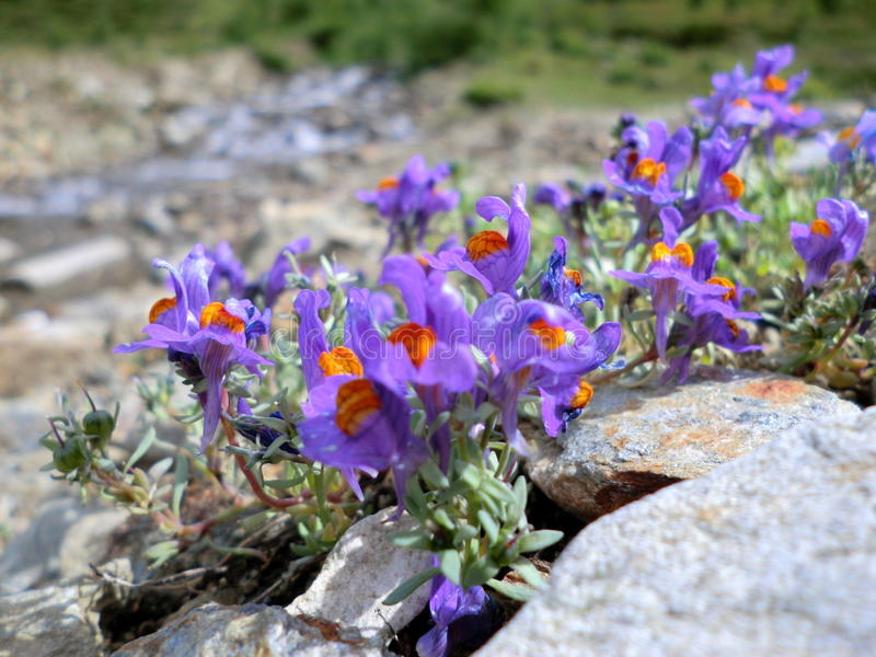 Flowers in the mountain stock images