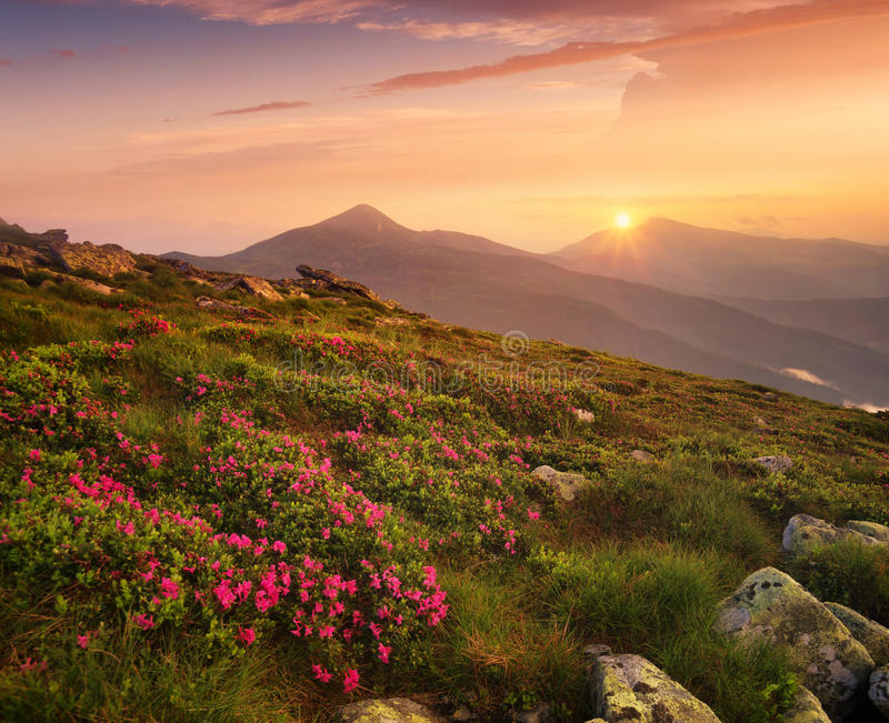Flowers on the mountain field during sunrise stock photo