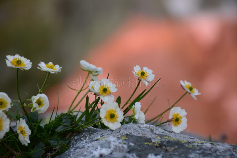 Flowers in the mountain stock photography